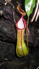 Carnivorous pitcher plant! One of several species found in Sibuyan. It eats insects that it traps in the water near the base.