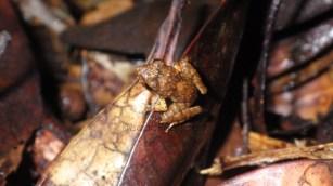 Forest frog (Platymantis species)