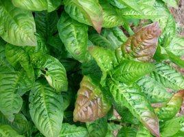 Persicaria tinctoria in Devon garden