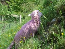 UN SI JOLI MONDE, Ateliers ouverts, Arnex-sur-Orbe, 2007 Bain de gouache rose pour les moutons, ouate de coiffeur, barrières plastiques, tulipes roses