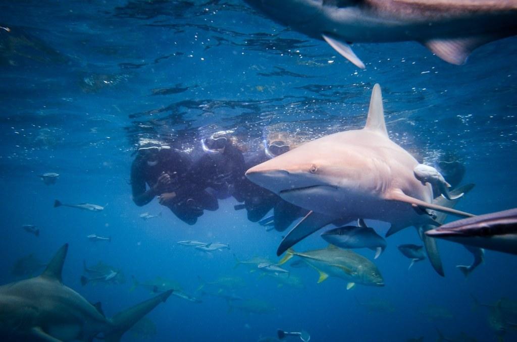 nager requin afrique du sud