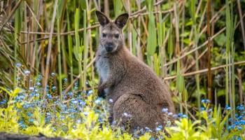 Kangourou tasmanie