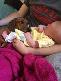 Our dachshund protecting our baby