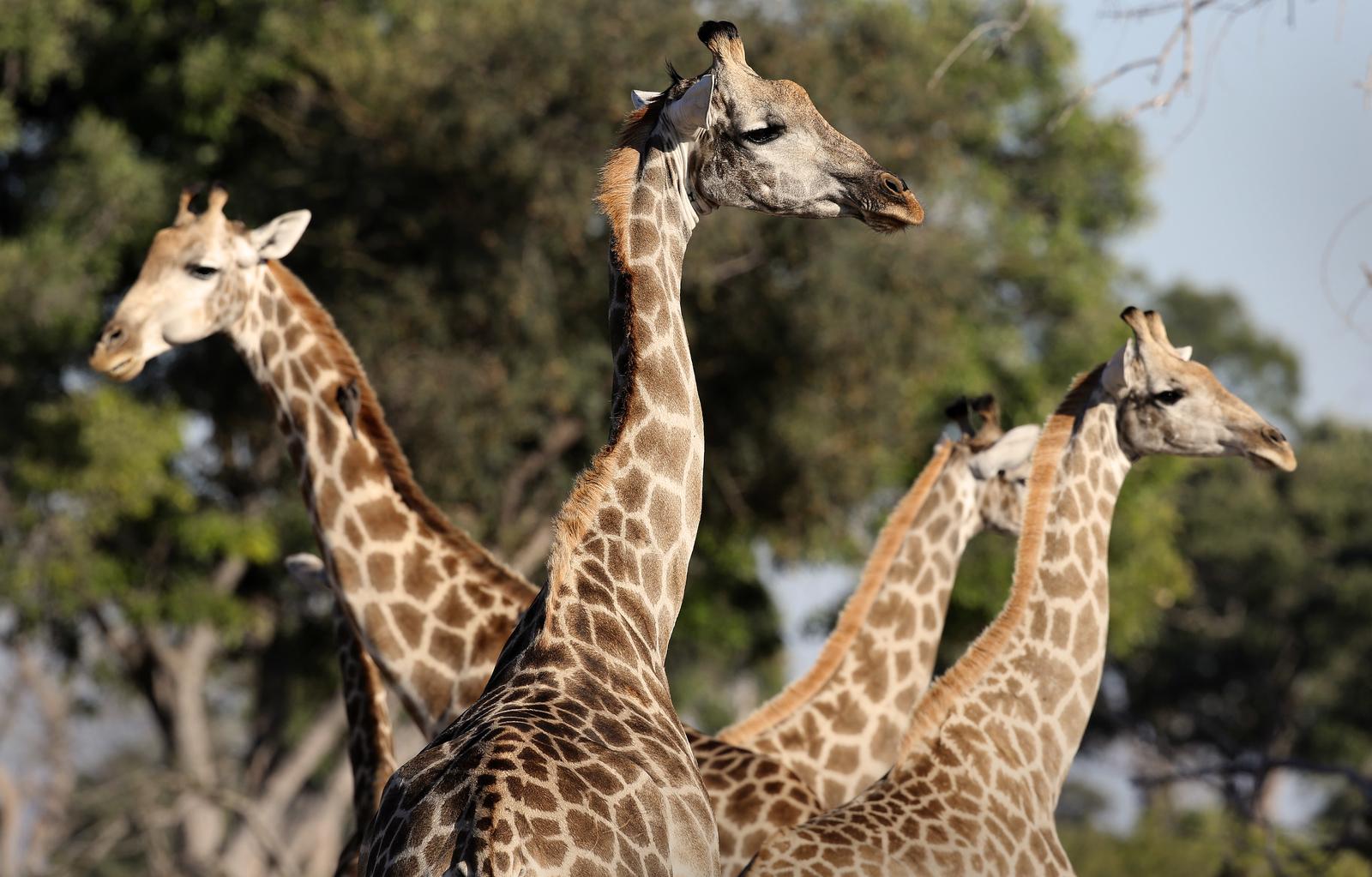 Six Interesting Facts About Giraffes