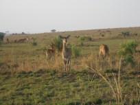 Ugandan Kob - the Ugandan National Animal