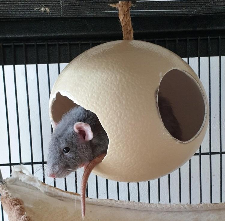 Lieffie, ons ratje die slaapt in een struisvogelei van Egg Dreamer.