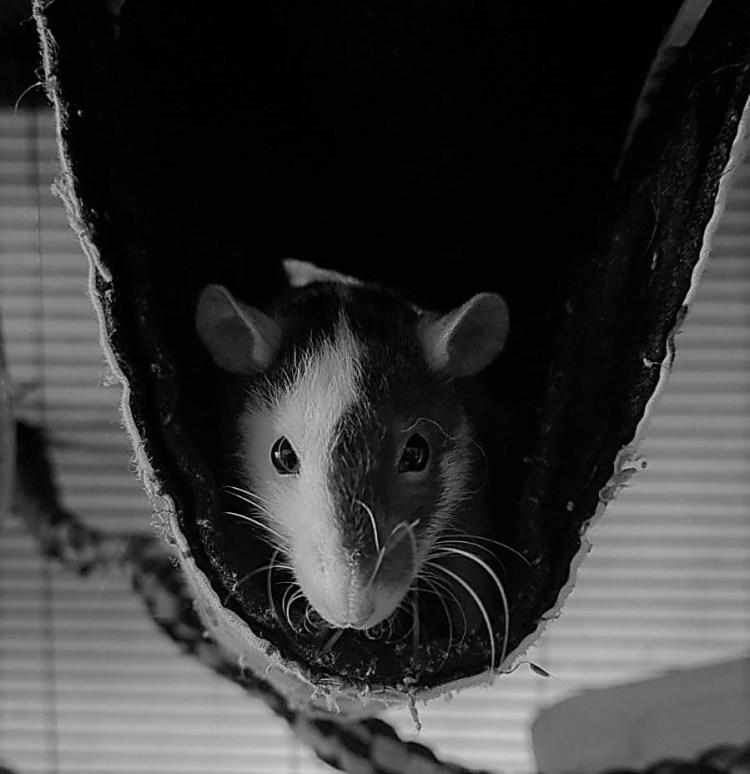 kleurmutaties bij ratten