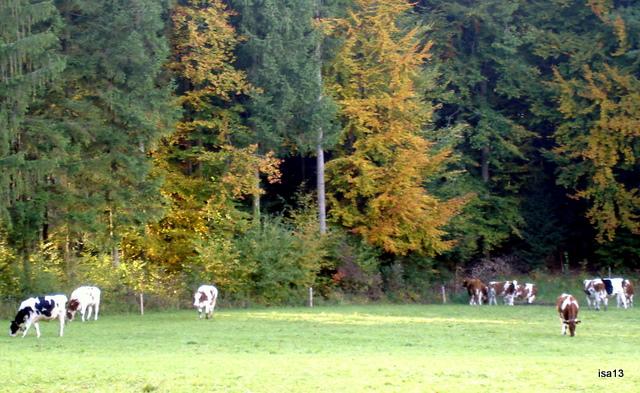 cows, Fall