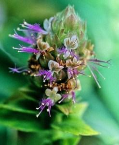 patchouli flower_zpsy3n6t9lu