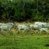 running cows, cattle, pantanal, wetland