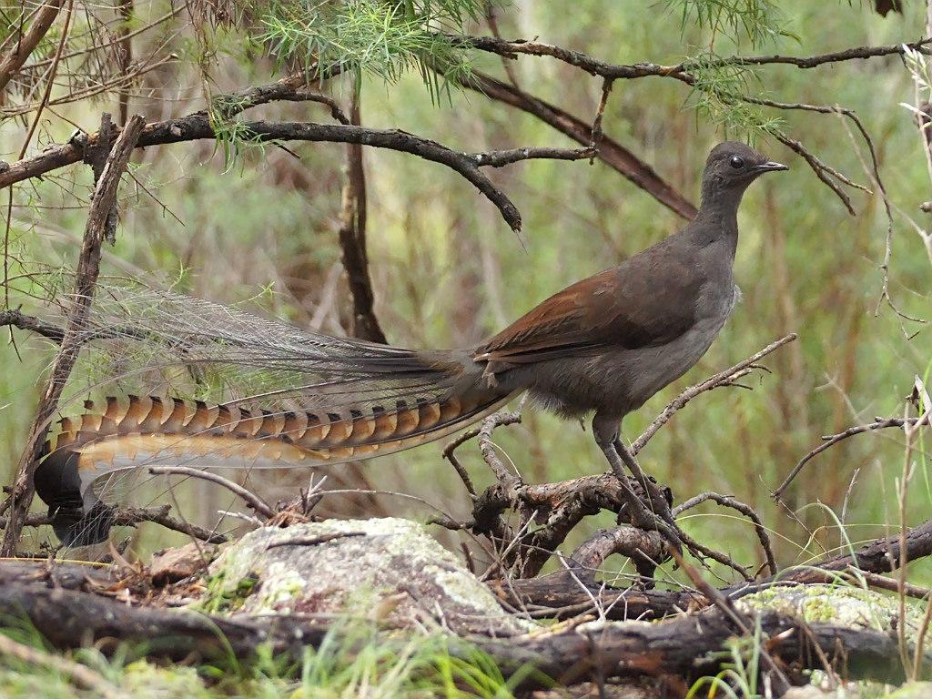 Lyrebird in forest