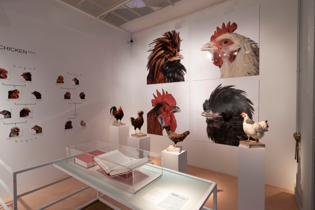 gallery with pictures of chickens