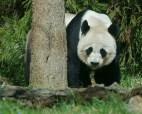 rob paine great panda bear