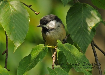 Black-capped chickadee three
