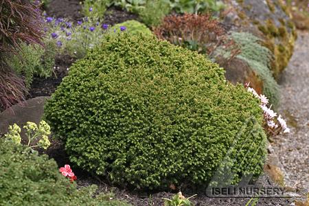 Cryptomeria japonica 'Vilmoriniana'