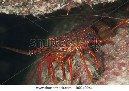 japanese-spiny-lobster