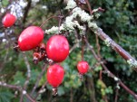 Blood red Hawthorn berries