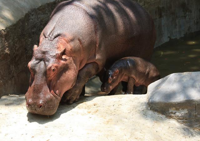 Bannerghatta National Park visit baby hippopotamus