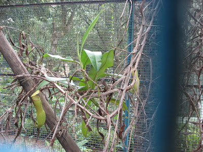 Yercaud pitcher plant