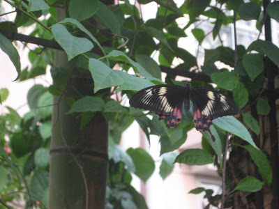 Have you Chased a Ruby-Spotted Swallowtail Butterfly