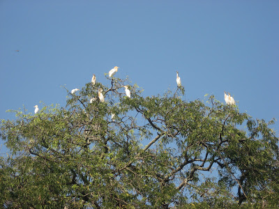Painted Storks at Kaggaladu