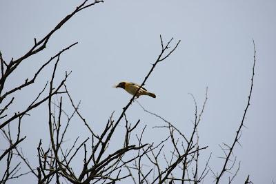 Weaver birds found feeding