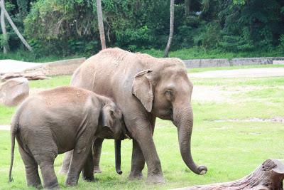 Mysore zoo baby elephants