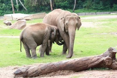 Mysore zoo elephants