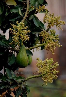 Avocado Flowers with Avocado fruit