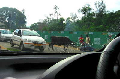 Battle With Stray Cattle