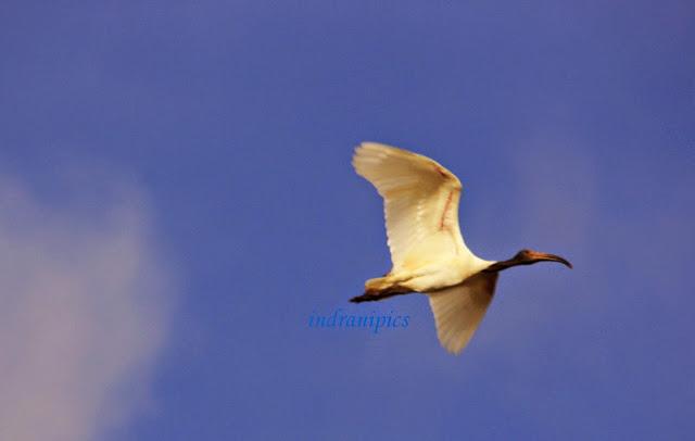 Ibises in flight bird Sanctuary