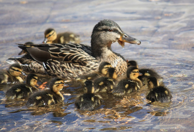 ducklings wordless