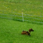 wordless goat on green grass