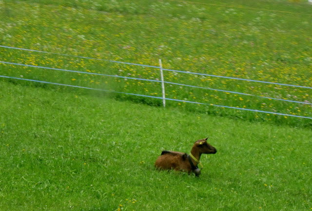 wordless goat on green grass