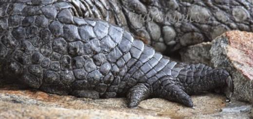 Wordless wednesday Crocodile Claws
