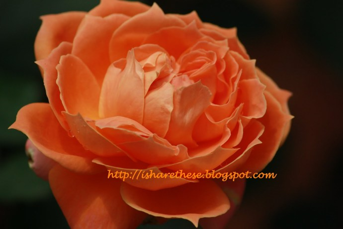orange rose from lal bagh