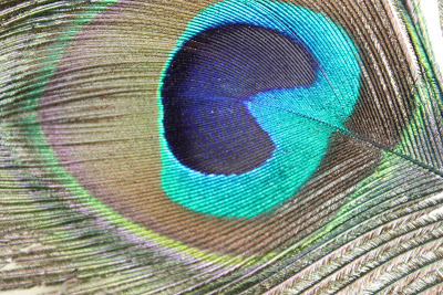 peacock-feather-images-2