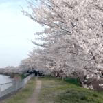 小櫃堰公園(桜の名所)