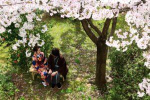 はれまロマンロケ撮上から桜と椿見つめ合う二人
