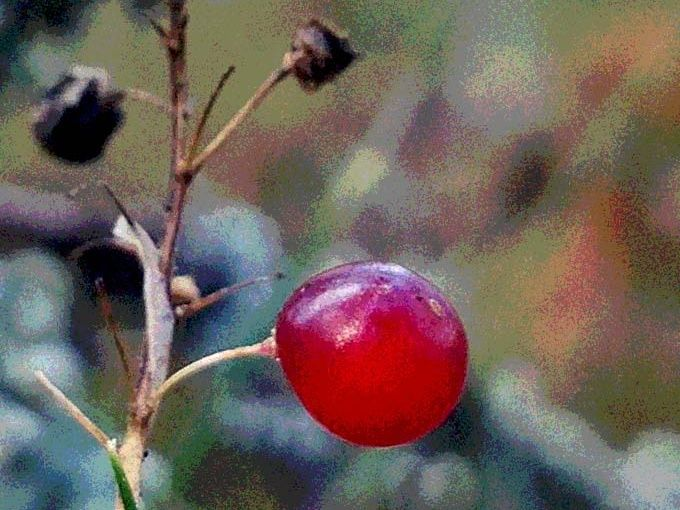 Berry on a withered straw