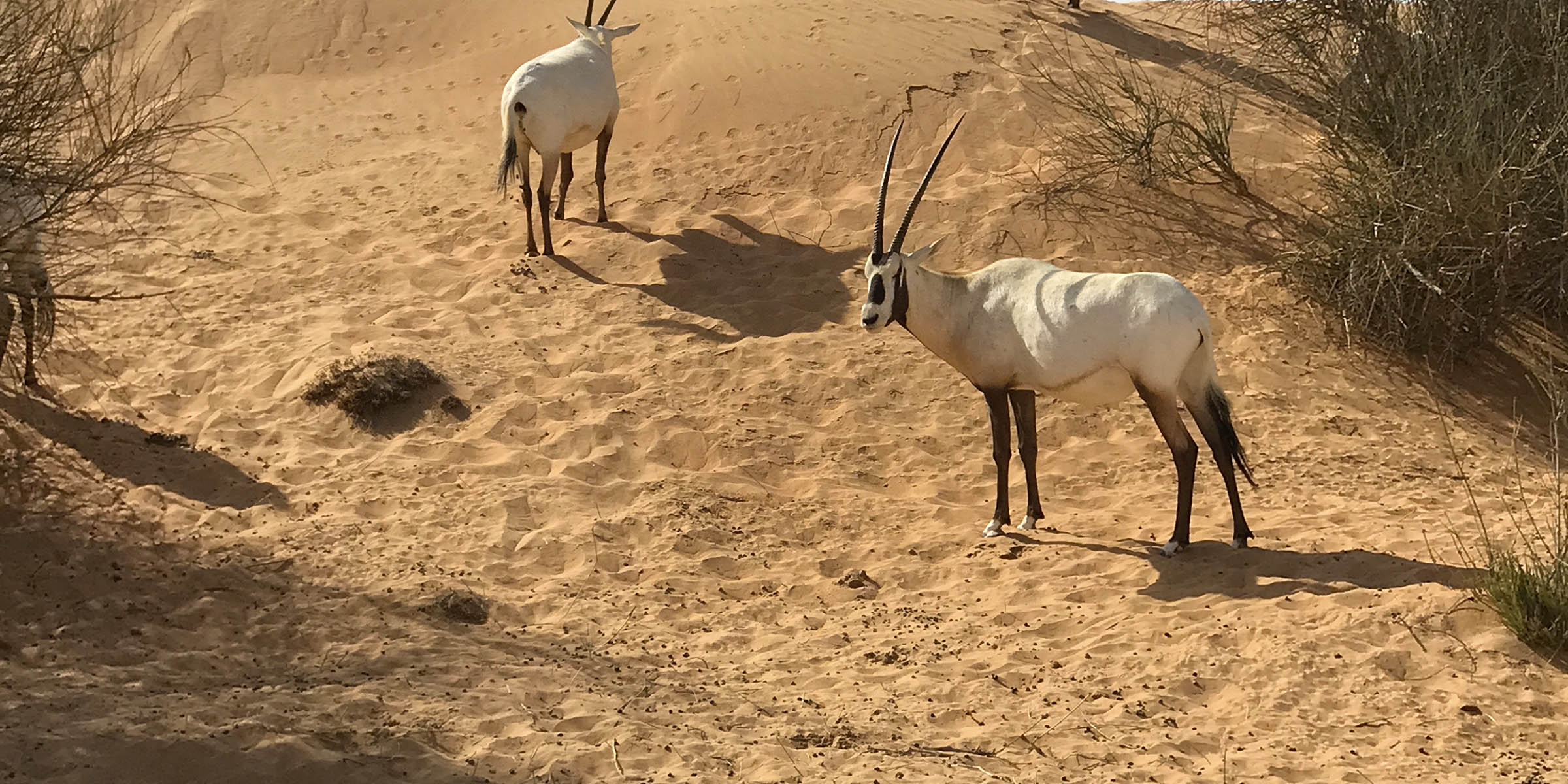 Arabian Oryx at Al Maha Desert Resort & Spa