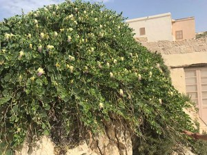 The spineless caper, known as kappara in Maltese