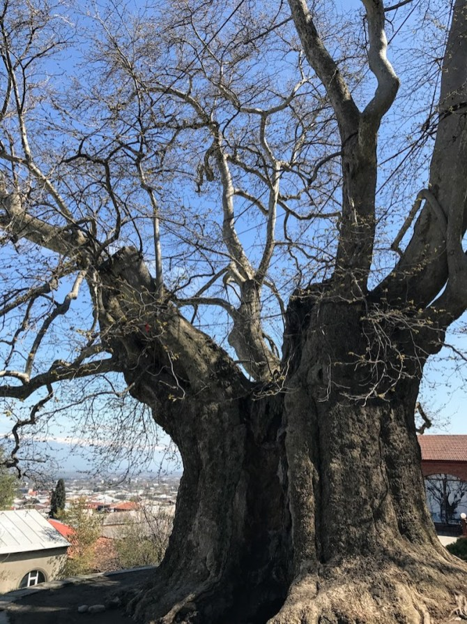 Giant Plane Tree in Telavi