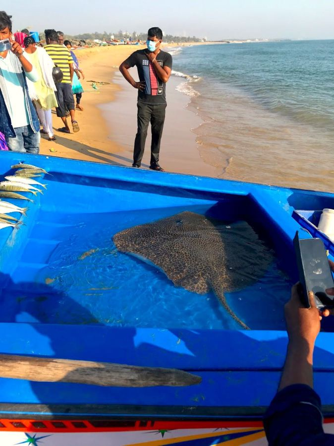 A sting ray caught in Kovalam beach in Chennai