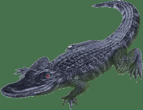 alligator003