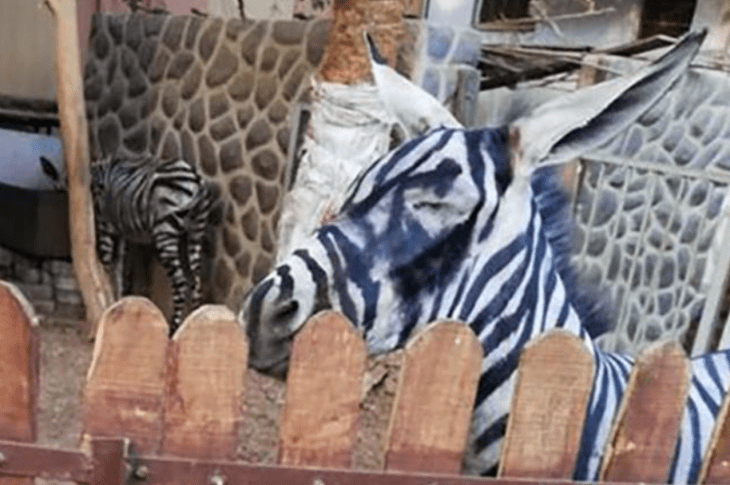 Zoo Under Fire For Painting a Donkey To Look Like a Zebra