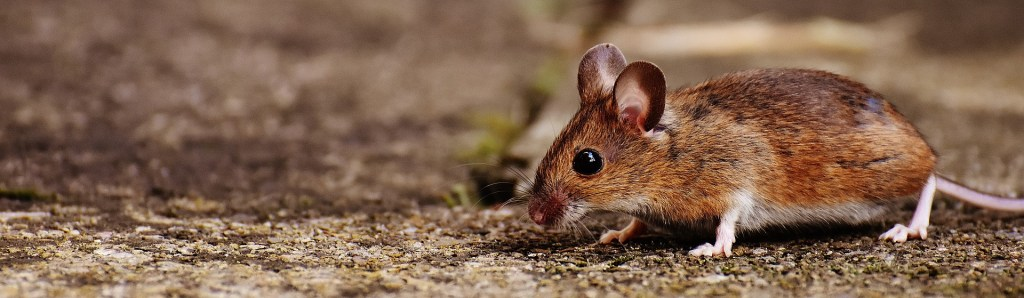 Photo: A little mouse