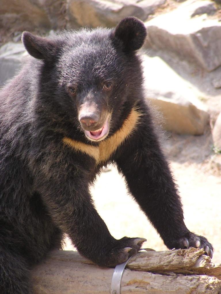 Photo: Formosan black bear