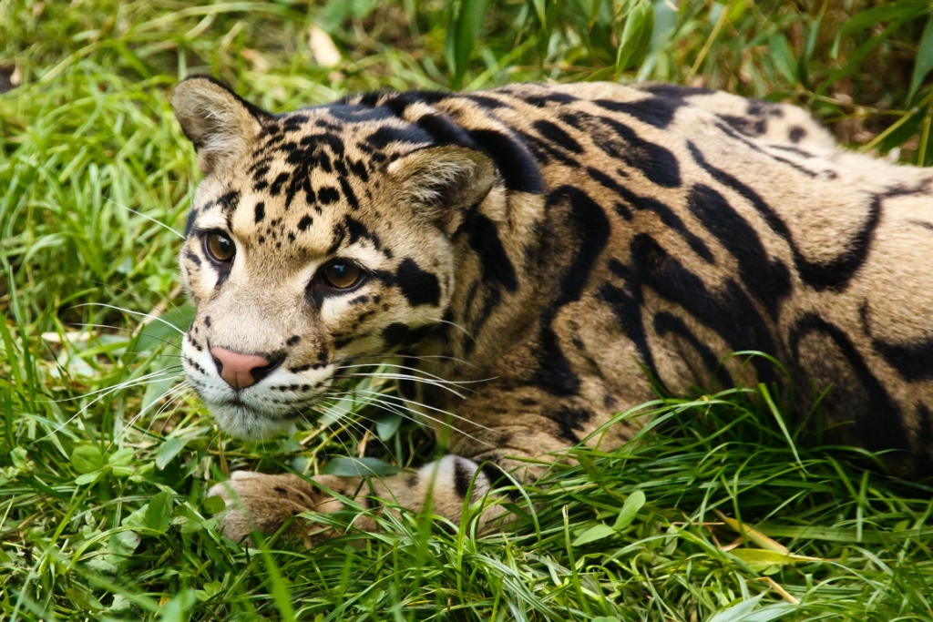 Photo: Clouded leopard
