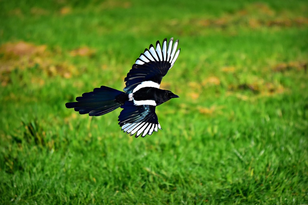 Photo: Flying magpie
